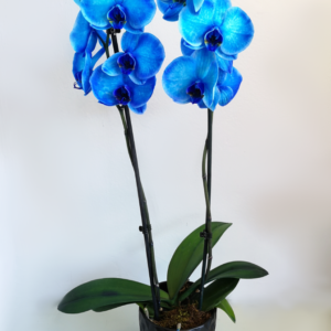 Blue Phalaenopsis Orchid