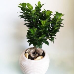 Medium Bonsai Monde Verde