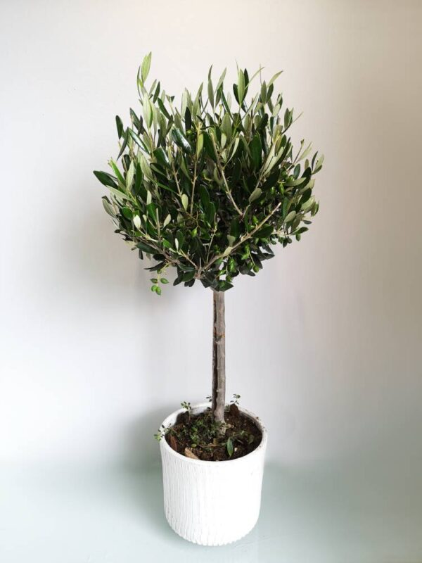 Large Olive Tree