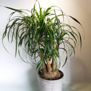 Beaucarnea Ponytail Palm