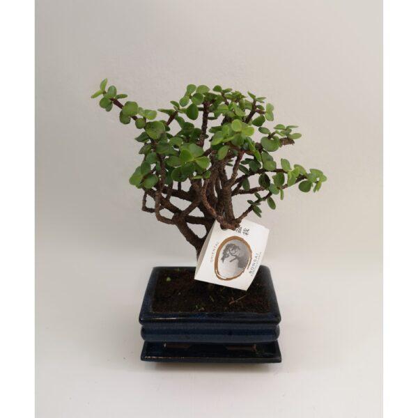 Oriental Bonsai