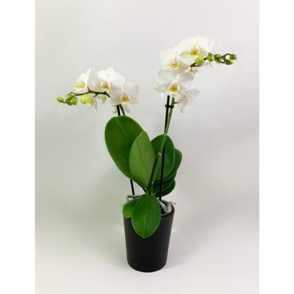 Little Λευκή Ορχιδέα Phalaenopsis