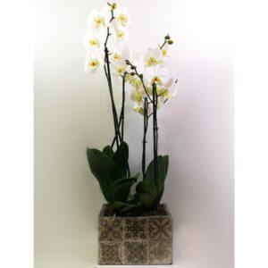 Double Boho White Phalaenopsis Orchid