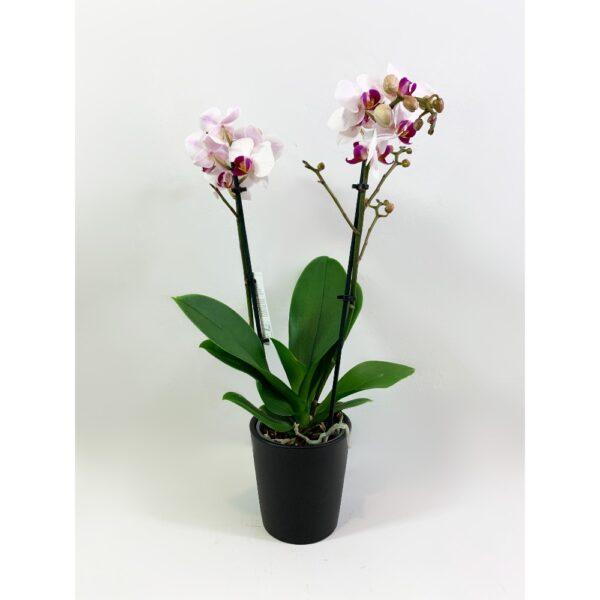 Little Δίχρωμη Ορχιδέα Phalaenopsis