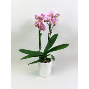 Little Pink Phalaenopsis Orchid