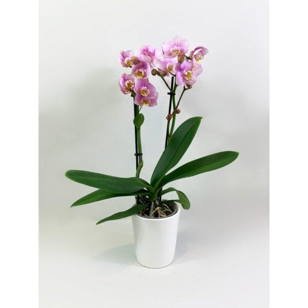 Little Pink Phalaenopsis Orchid