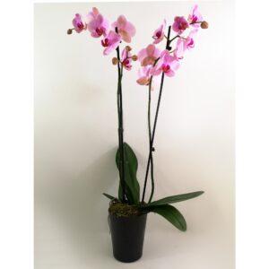 Ροζ Ορχιδέα Phalaenopsis