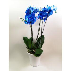 Διπλή Blue Ορχιδέα Phalaenopsis