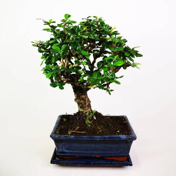 C:\Users\night\Desktop\προιοντα 4_11\Φυτά-Bonsai\Oriental Bonsai Carmona